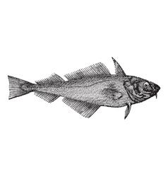 Haddock vintage engraving vector image vector image