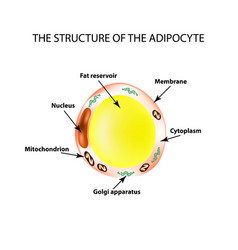 the anatomical structure of the fat cells vector image