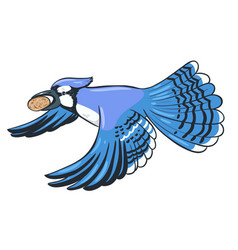 Blue jay flies with a nut in its beak isolate on vector