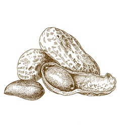 engraving shelled peanut vector image