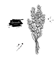 lavender drawing set isolated wild flower vector image vector image