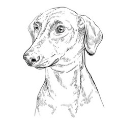 German pinscher hand drawing portrait vector