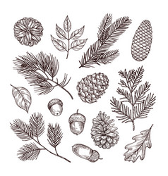 Sketch fir branches acorns and pine cones vector