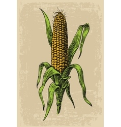 Ripe corn on the cob with leaf engraving vector