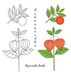 Ashwagandha plant 2-03 vector