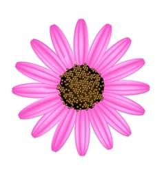 Pink Daisy Flower on A White Background vector image vector image