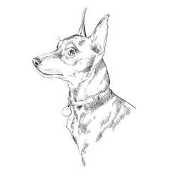 miniature pinscher hand drawing portrait vector image
