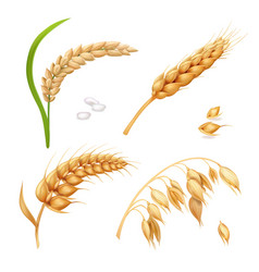 Wheat barley rice and oats ears set vector