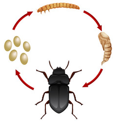 Life cycle of a mealwoem vector