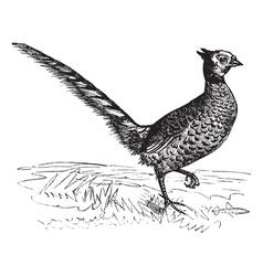 Common Pheasant vintage engraving vector image