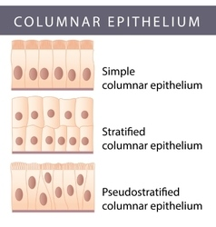 Epithelium vector image