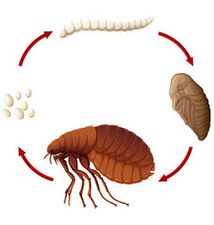 Life cycle of a flea vector