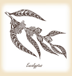 eucalyptus leaves and flowers hand drawn vector image