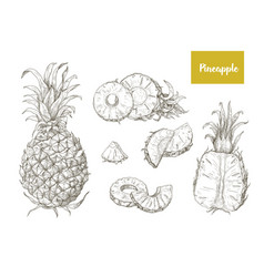 set of naturalistic drawings of whole and cut vector image