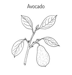 avocado or alligator pear vector image