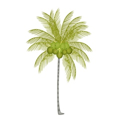 A Palm Tree with Fresh Green Coconuts vector image