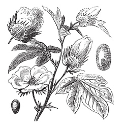 Pima Cotton vintage engraving vector image vector image