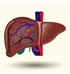 human liver cartoon vector image