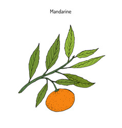 mandarin orange branch vector image