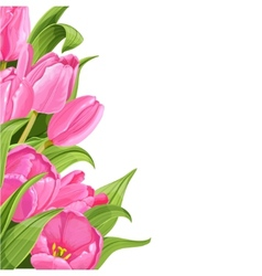 Pink tulips on white background vector image