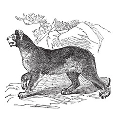 Cougar vintage engraving vector image