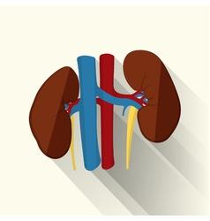 human kidneys flat vector image vector image