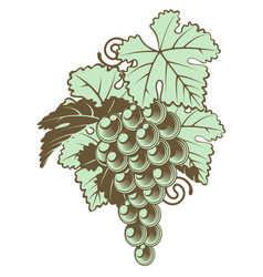 Bunch of grapes on vine vector