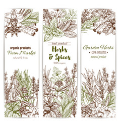 herb and spice sketch banner of organic seasoning vector image