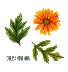 Orange chrysanthemum flower with leaves tea plant vector