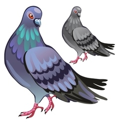 Beautiful pigeon closeup on white background vector
