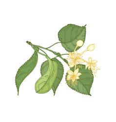 Natural detailed drawing linden sprig vector