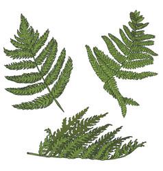 Fern leaves set vector