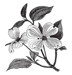 Flowering dogwood vintage engraving vector