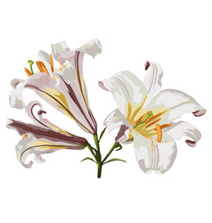 realistic lily flower blossom vector image