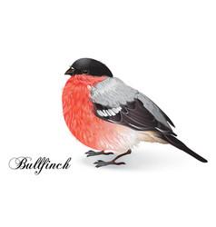 Christmas bullfinch bird vector