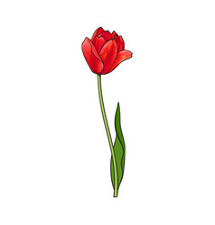 Hand drawn of side view red tulip flower vector