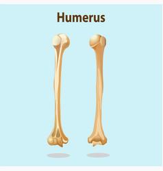 humerus bones vector image