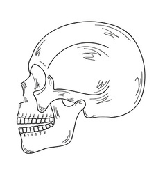 Sketch of the skull vector