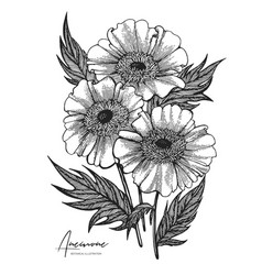 engraved hand drawn of anemone all vector image