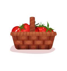 wicker basket full of fresh tomatoes organic and vector image