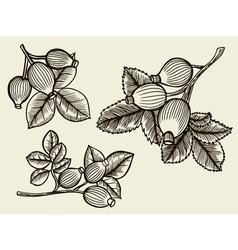 Rosa canina hand drawn vector image