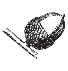 Chinquapin oak acorn vintage vector