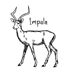 Impala - sketch hand drawn vector