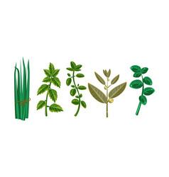 Fresh culinary herbs fresh green plants vector