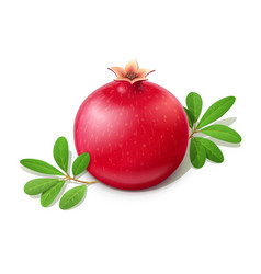 ripe juicy pomegranate fruit vector image