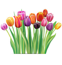 bouquet of multicolor tulips vector image vector image