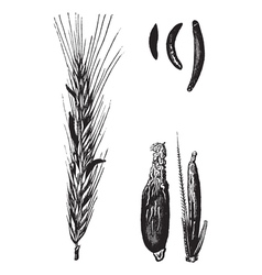 Rye cereal vintage engraved vector image