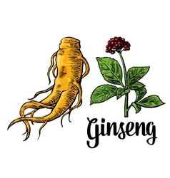 Root and leaves panax ginseng colorful vector image