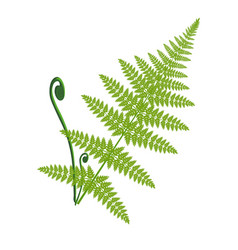 fern leaf isolated on the white vector image vector image