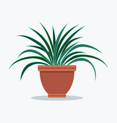 dracaena house plant with long thin leaves in pot vector image